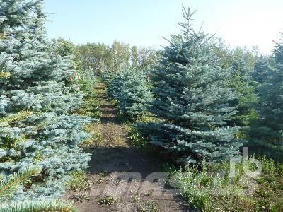 [Other] Qty Of 100 Colorado Spruce